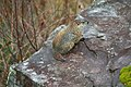Wildlife groundhog 2 - West Virginia - ForestWander.jpg