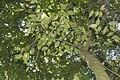 Wimmeria concolor.jpg