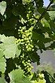 Wine grapes Mosel 2018 (1).jpg