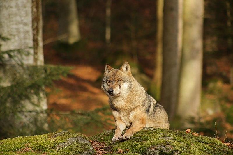 Datei:Wolf im Nationalpark bayerischer Wald, Neuschönau.jpg