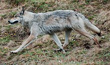 Wolf on the move.jpg