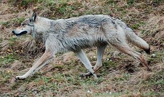 Interior Alaskan wolf - Interior Alaskan wolf in Denali National Park