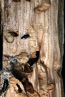 Wood Wasp galleries and pupal chambers.jpg
