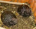 Wood lice feasting on avocado.jpg