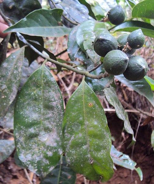 പ്രമാണം:Xanthophyllum arnottianum.jpg