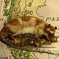 Yapok, or water opossum (Chironectes minimus) from the lakes and rivers of South America (A.666) @mcrmuseum -NaturesLibrary.jpg