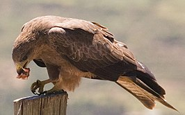 Yellow-billed Kite, Harar, Ethiopia (2190054659).jpg