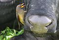 Yellow-billed oxpecker, Buphagus africanus, on Cape buffalo in Chobe National Park, Botswana. (32370504885).jpg