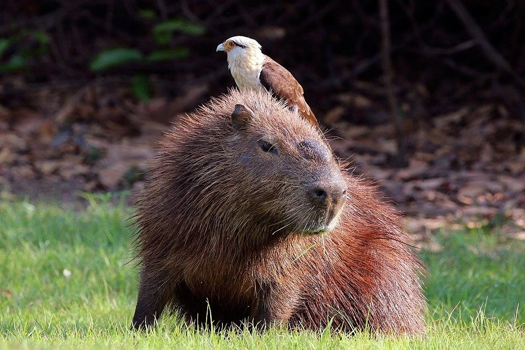 Yellow-headed caracara (Milvago chimachima) on capybara (Hydrochoeris hydrochaeris).JPG
