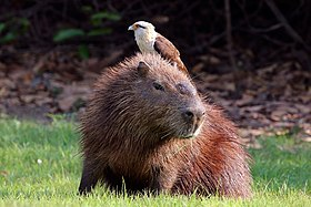Yellow-headed caracara (Milvago chimachima) on capybara (Hydrochoeris hydrochaeris).JPG