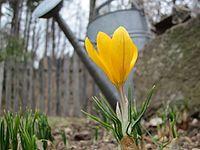 Yellow Spring Flower.JPG