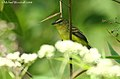 Yellow Tyrannulet (2867184578).jpg