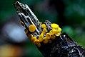 Yellow fairy cup (14934002533).jpg