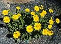 Yellow flowers in Switzerland.jpg