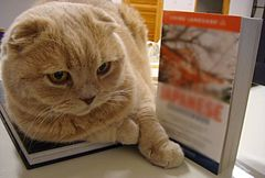 Yellow scottish fold.jpg