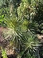 Yucca aloifolia - J. C. Raulston Arboretum - DSC06211.JPG