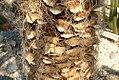 Yucca faxoniana 3zz.jpg