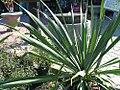 Yucca filamentosa 8zz.jpg