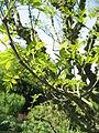 Zanthoxylum americanum03.jpg