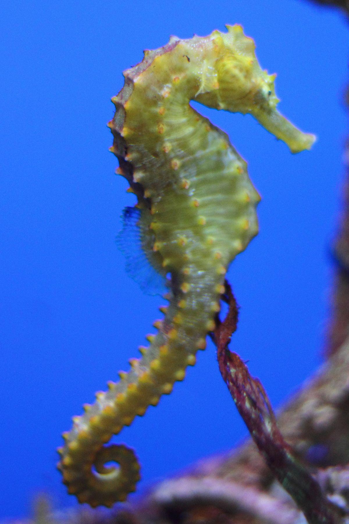 cavalluccio marino wikiquote