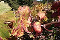 Zinfandel sunburnt leaves going through color change.jpg