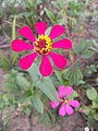Zinnia single layer and 8 Petals red 2.jpg