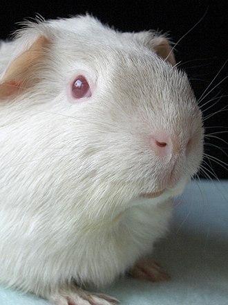 Albinism in biology - Albino guinea-pig