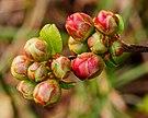 Zwellende bloemknoppen van Chaenomeles x superba 'nicolina' (chinese kwee). Locatie. Tuinreservaat Jonkervallei 02.jpg