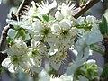 Zwetschgenblüten.jpg