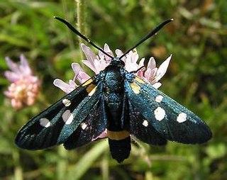 <i>Zygaena</i> Genus of moths