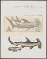 Zygaena malleus - 1700-1880 - Print - Iconographia Zoologica - Special Collections University of Amsterdam - UBA01 IZ14100057.tif