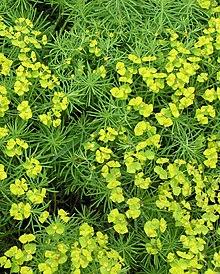 Wolfsmilch wikipedia - Wolfsmilch zimmerpflanze ...