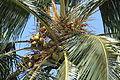 """""""Bunch of coconut"""".JPG"""
