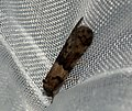 (1025) Tortricodes alternella (4331744579).jpg
