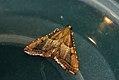 (1424) Endotricha flammealis (3663031261).jpg