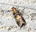 (1470) Euzophera pinguis - Flickr - Bennyboymothman (1).jpg