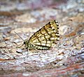(1894) Latticed Heath (Chiasmia clathrata) (35918023196).jpg