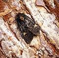 (2343a) Lesser Common Rustic (Mesapamea didyma) (28659480886).jpg