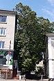 """Ботанічна памятка природи місцевого значення """"Тернопільська липа"""" (загальний вигляд).jpg"""