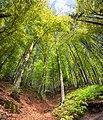 Весняний буковий ліс біля Соколиного ока.jpg