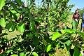 Вирощування яблуні 6.jpg