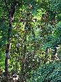Гомель. Парк. Магония падуболистная. Фото 03.jpg