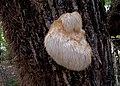 Ежовик гребенчатый Hericium erinaceus Lion's mane mushroom Игловиден корал Igel-Stachelbart (30816014896).jpg