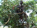 Кипр. Шоколадное дерево.JPG