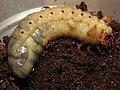 Молодая яичинка Megascolia maculata и личинка Oryctes nasicornis.JPG