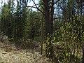 Опушка - panoramio (1).jpg