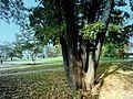 Пятиствольное дерево - panoramio.jpg