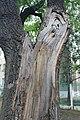 Разлом ствола дуба на улице Коминтерна.jpg