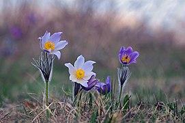 Семейство цветущей сон-травы.jpg