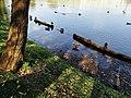 Утки в пруду. Царицыно.jpg